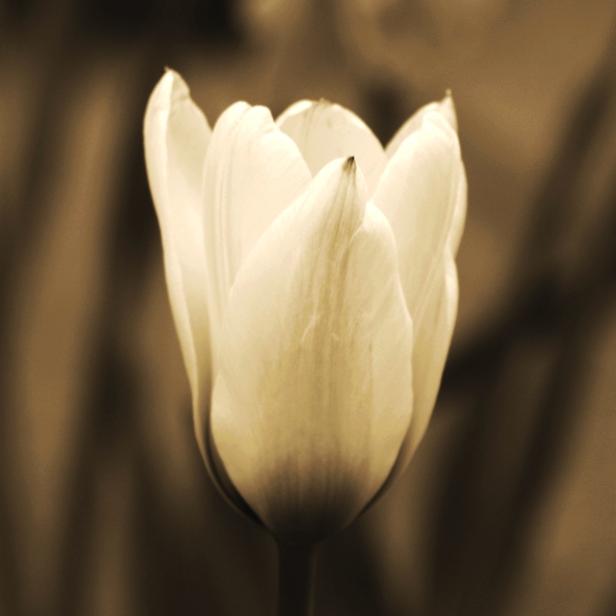 Spring Tulip